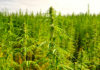 A plantation of cannabis plants.