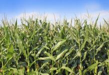 Corn field blue sky